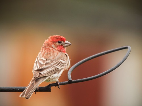bird © finch housefinch backyardbirds malehousefinch feederbirds garyburke 14xtc olympuse620 zuiko50200mmf28swd feederbirdsofnorthcarolina