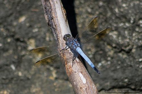 blue nature animals insect dragonfly australia nsw kyogle toonumbardam