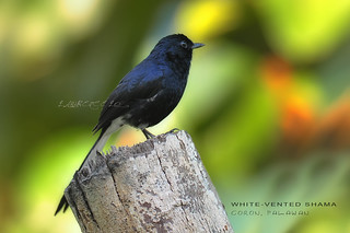 White-vented Shama | by LawrenceLo2013