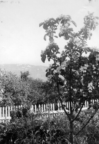 Et blomstrende epletre i hagen til Landsberg - Ein blühenden Apfelbaum