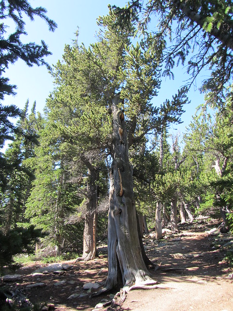Along the Bristlecone Pine Trail