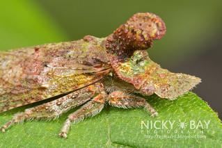 Flat-headed leafhopper (cf. Ledra sp.) - IMG_7125