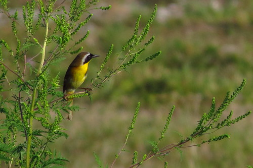 Common Yellowthroat | by YoungSue