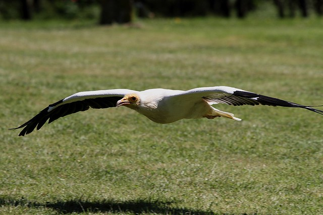 Eygption Vulture (Captive)