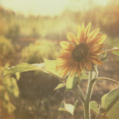 Sunflower in the garden | by Ashley E. Moore