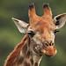 Image: Smiling Giraffe