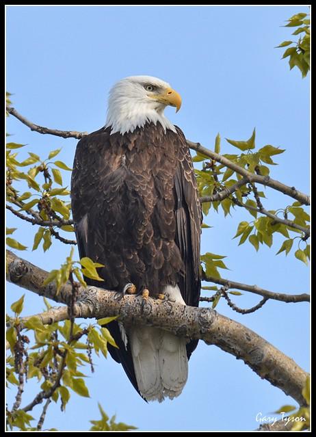 Bald Eagle, Anchorage Alaska