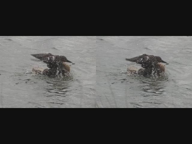 Mallard duck - stereo movie clip - crossview
