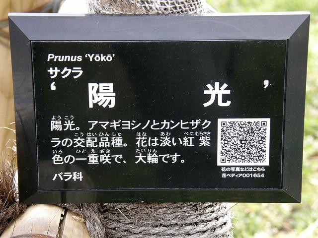 #2578 Prunus Yōkō (陽光)