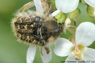 Brunidora, escarabat de les flors (Oxythyrea funesta) | by Joan Quintana (joanillo)