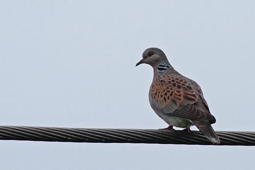2012 07 08_Turtle Dove