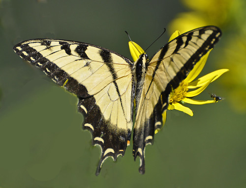 Swallowtail and Friend | by AcrylicArtist