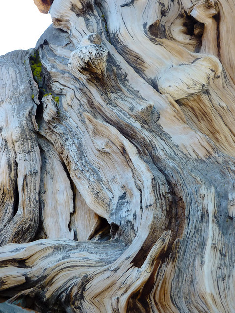 Very old trunk of a bristlecone pine