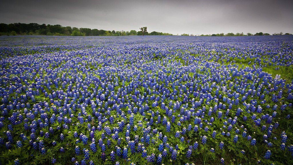 Texas Bluebonnets Just South Of Dallas Tx March 2012