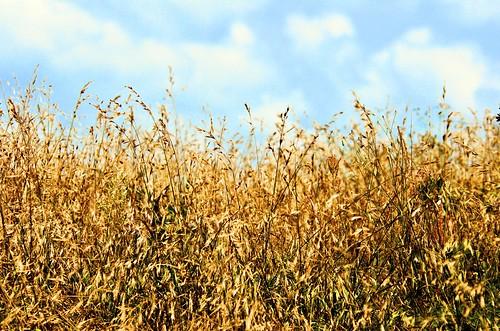 clouds nikon wheat bluesky d7000