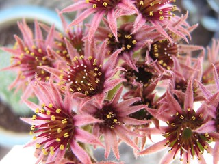 semp flowers   by cathy cullis