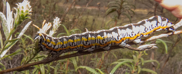 Owlet Moth sp caterpillar
