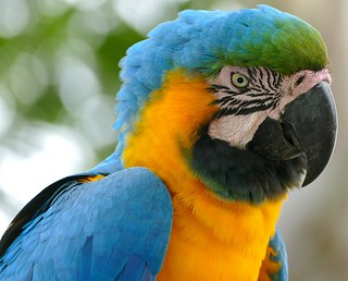Blue-and-yellow Macaw (Ara ararauna) | by berniedup