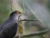 Bicolor Hawk (Accipiter bicolor). Uncommon species by Daniel Mclaren .:. Naturalist Guide CR