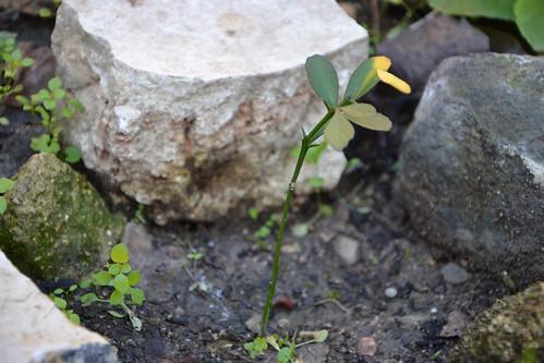 Citrus trifoliata (= Poncirus trifoliata) - Page 2 32938273720_305550584d
