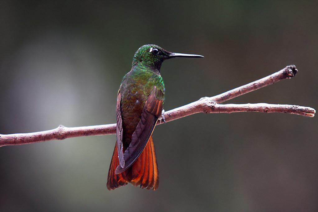 Brazilian Ruby -  Heliodoxa rubricauda.