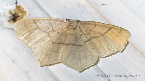 Oak Besma - Hodges#6885 (Besma quercivoraria)