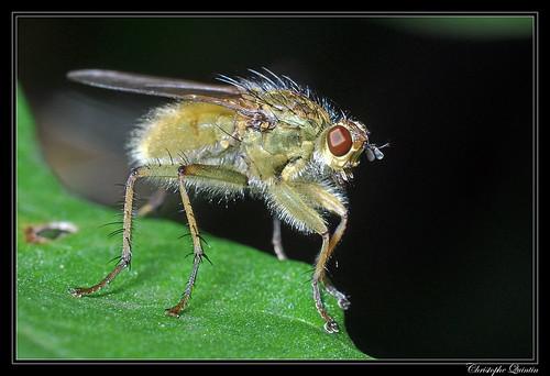 Mouche à m..de (Scathophaga stercoraria)