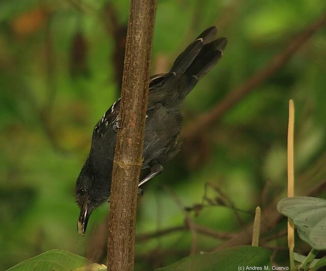 Cercomacra tyrannina (Dusky Antbird)