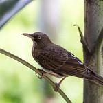 Puerto Rican Brown Bird
