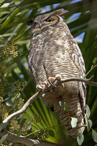 Great Horned Owl (Bubo virginianus) 39 040312 | by evimeyer