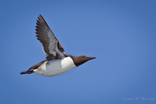 Thick-billed Murre   by Turk Images