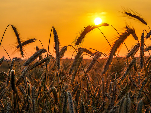 Corn in the Sunset | by Oliver Stör