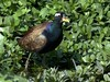 N. India Tour 2012: Bronze-winged Jacana by spiderhunters
