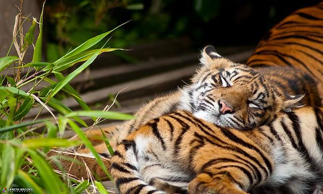 Sumatran Tiger Cub Sleeping