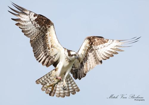osprey ospreyinflight