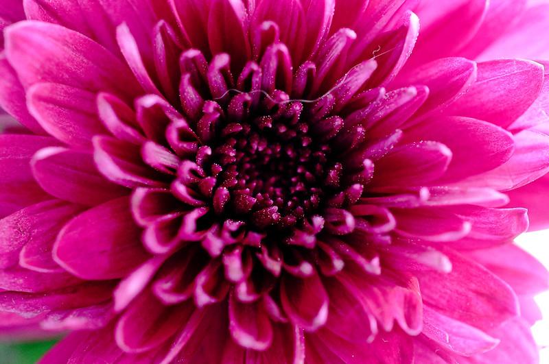 Chrysanthemum 339