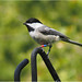 Chickadee With Bling on Legs by Bruce Shapka