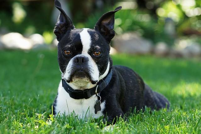boston terrier cat friendly dog