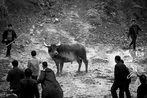 Bull snort