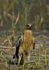 Bonneli's Eagle by Nitin's Photography