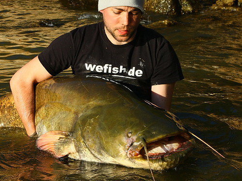 Giant Catfish from Spain   by wefish.de