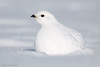 White-tailed Ptarmigan (Lagopus leucura) by TroyEcol