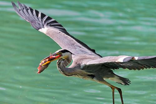 Heron flying with fish in the beak | by Tambako the Jaguar