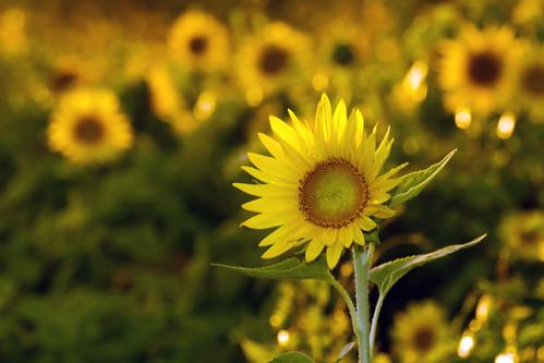 sunset canon afternoon bigma maryland 7d sunflower mckeebesherswildlifemanagementarea sigma50500mmf463exdghsmaporf