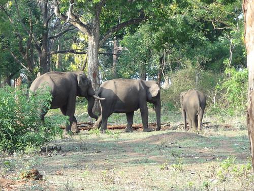 elephant male herd