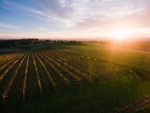 above morning autumn colour horizontal sunrise vineyard farm nobody aerial yarravalley agriculture grape viticulture sunflare southernblackbream haustralia