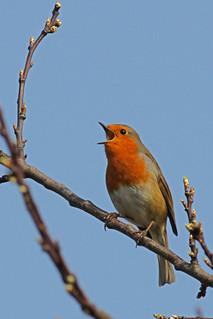 2012 03 23_Robin