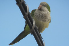 Monk Parakeet, Carteret, NJ, March 9, 2012