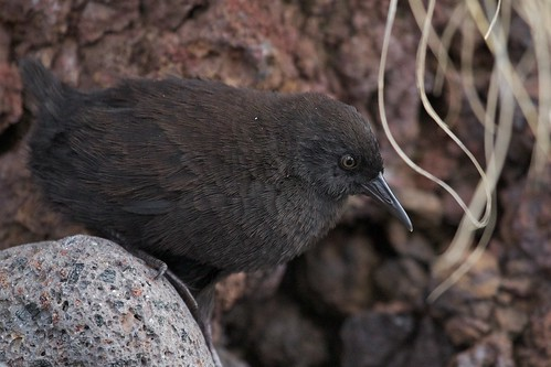 Inaccessible Island Rail (Atlantisia rogersi)