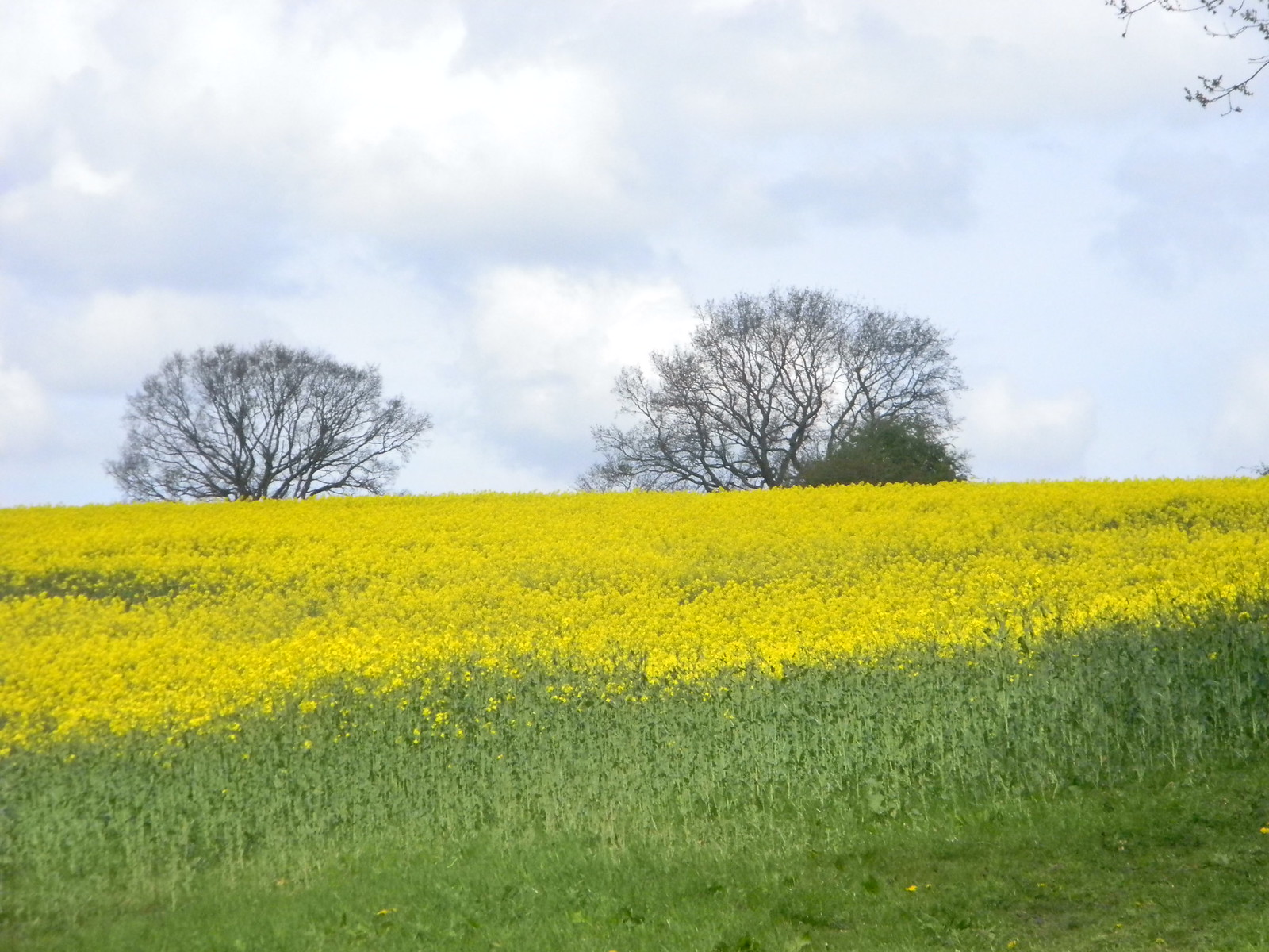 Rapefield with trees Point 25, Pangbourne Circular